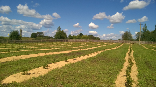 Фото - Возводим промышленные плантации голубики