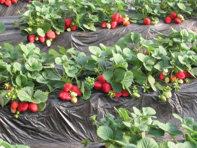 Фото - Создание ягодной плантации