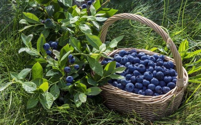 Фото - Выращивание и переработка ягод по органическим стандартам.