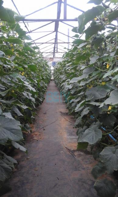 Фото - Выращивание и реализация огурцов